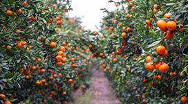 oranges citrus